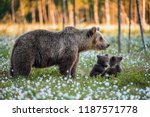 Stock photo she bear and bear cub cub and adult female of brown bear in the forest at summer time scientific 1187571778
