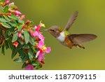 volcano hummingbird  animal in...   Shutterstock . vector #1187709115