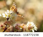 An American Painted Lady...