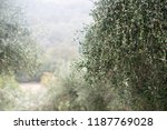 olive trees in fog morning.... | Shutterstock . vector #1187769028