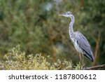 close up portrait of grey heron ... | Shutterstock . vector #1187800612