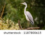 close up portrait of grey heron ... | Shutterstock . vector #1187800615