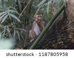 monkey or ape is the common... | Shutterstock . vector #1187805958