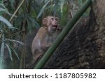monkey or ape is the common... | Shutterstock . vector #1187805982