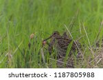 poultry or birds  including... | Shutterstock . vector #1187805988