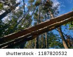trees felled by a storm in a... | Shutterstock . vector #1187820532