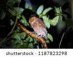rare owl  santa marta screech... | Shutterstock . vector #1187823298