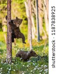 Brown Bear Cubs Playing In The...