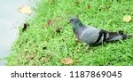 many species of birds are at... | Shutterstock . vector #1187869045