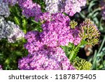 flowers of pink and white... | Shutterstock . vector #1187875405