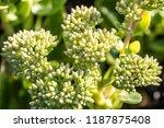 close up of sedum green flowers ... | Shutterstock . vector #1187875408
