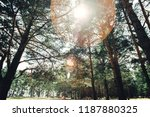a sunny day a coniferous forest ...   Shutterstock . vector #1187880325