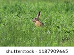 Stock photo the hare sits in a field with fresh green grass and listens to what is happening around 1187909665