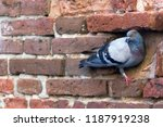 pigeon in a recess on a red... | Shutterstock . vector #1187919238