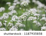 white flower in summer. | Shutterstock . vector #1187935858