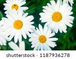 Chamomile Flower  Matricaria ...