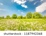 field with yellow dandelions... | Shutterstock . vector #1187942368