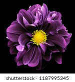 Purple Dahlia. Flower On The...
