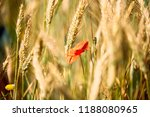 Flowers Of Red Poppy On The...