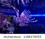 zebrafish   firefish  tastyfish ... | Shutterstock . vector #1188178555