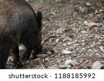 wild boar  sus scrofa  digs... | Shutterstock . vector #1188185992