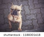 cute french bulldog making a...   Shutterstock . vector #1188301618