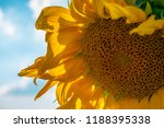 blooming sunflower in sunny day ... | Shutterstock . vector #1188395338