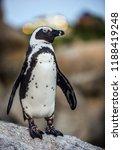 the african penguin in twilight.... | Shutterstock . vector #1188419248