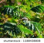 tiny  little  silvereye or wax... | Shutterstock . vector #1188438808