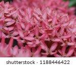 beautiful spike flower blooming ...   Shutterstock . vector #1188446422