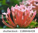 beautiful spike flower blooming ...   Shutterstock . vector #1188446428