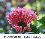 beautiful spike flower blooming ...   Shutterstock . vector #1188446602