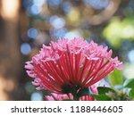 beautiful spike flower blooming ...   Shutterstock . vector #1188446605