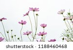 group of pink colored cosmos... | Shutterstock . vector #1188460468