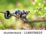 sugar gliders move above the...   Shutterstock . vector #1188558835