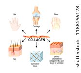 collagen is the main structural ... | Shutterstock . vector #1188596128