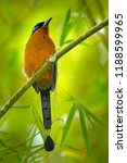 trinidad motmot  momotus... | Shutterstock . vector #1188599965