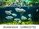 fish piranhas in the water  the ... | Shutterstock . vector #1188622732