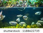 Fish piranhas in the water  the ...