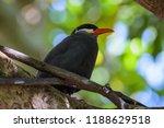 Inca Tern Sitting In A Tree