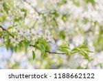 pear tree branch blossom. white ...   Shutterstock . vector #1188662122