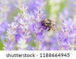 bumblebee on lavender flower....   Shutterstock . vector #1188664945