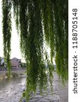 giant weeping willow tree by a...   Shutterstock . vector #1188705148