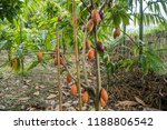 The Cocoa Tree With Fruits....