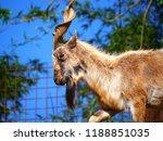 ch vre montagnes herbivore... | Shutterstock . vector #1188851035