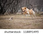 Stock photo cute funny golden retriever dog playing with a toy 118891495
