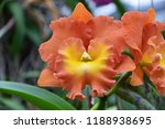 orange cattleya with yellow lip | Shutterstock . vector #1188938695