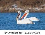 dalmatian pelican in winter ... | Shutterstock . vector #118899196
