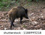 wild boar  sus scrofa  digs... | Shutterstock . vector #1188995218