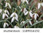 honeybee on beautiful white... | Shutterstock . vector #1189016152